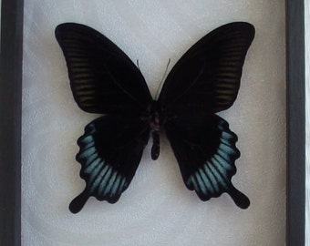 Papilio ascalaphus male real framed butterfly