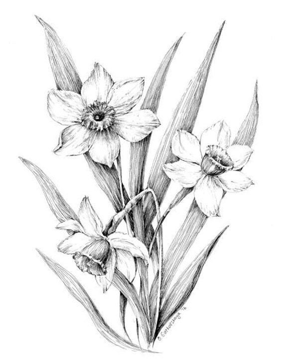 Narcissus print daffodil drawing floral art black and white