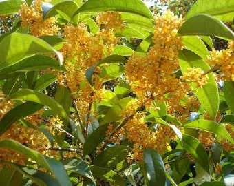 Osmanthus Fragrans Yellow 5 Seeds, Very Fragrant Sweet Olive, Cold Hardy Tree Shrub
