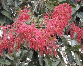 Terminalia Myriocarpa Tree 20-2000 Seeds, East Indian Almond, Garden Hollock Evergreen