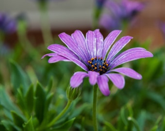 Nature Photography, Purple Flower, Havertown, Pennsylvania, Matted on Black