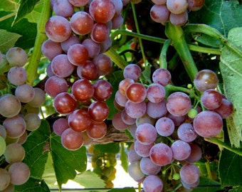1 Reliance - Grape Plant/Vine - Red Seedless - Fall Shipping