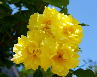 Yellow Flowers and Sunshine