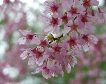 Beautiful Pink Cherry Blossoms #27