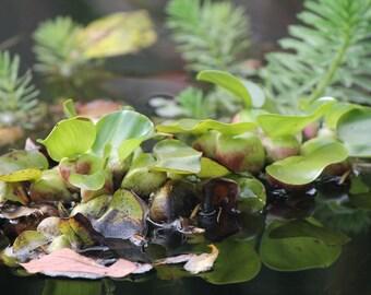 Pond Leaves, Sunshine Coast, BC, Nature Photography