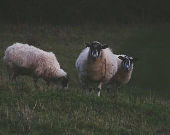 Sheep On The Hillside.