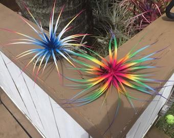"2 Tillandsia Air Plants Ferns Bursting With Color!  4""-6"" Wide Fairy Garden Fantasy"