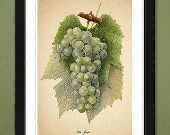 Grapes Green – 1920 – USDA Pomological Watercolor Collection (12x18 Heavyweight Art Print)