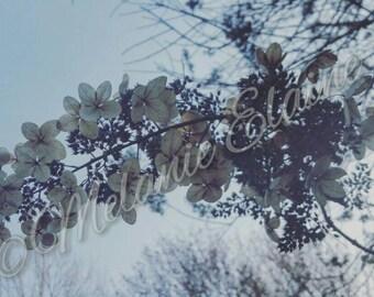 Paper Flowers (Hydrangea Paniculata 'Tardiva')