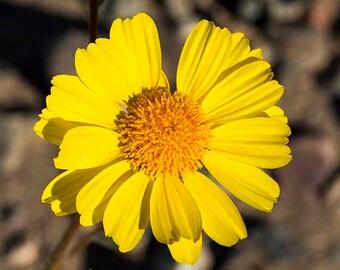Flower Photo,Digital Image Download,Fine Art Photograph,Landscape Photo,Picture,Death Valley Bloom, yellow, 8 x 10 in(20 x 25 cm) x 300 dpi