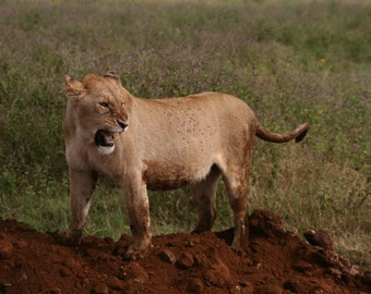 Wild Africa Protective Lion Momma Roars