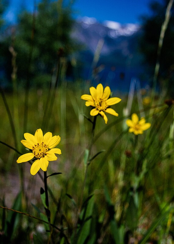 No. 019 | Yellow flowers mountain art wall photo print 8x10 11x14 16x20 gift present holiday christmas best top popular selling seller sale