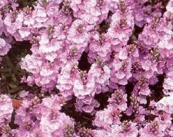 40+ Veronica Rosea / Perennial Flower Seeds