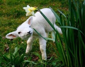 Taxidermy newborn Lamb