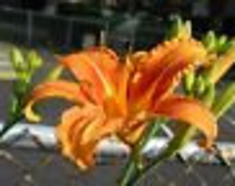 25 Wild Orange Day Lily, ditch lily roots systems (HEMEROCALLIS FULVA)