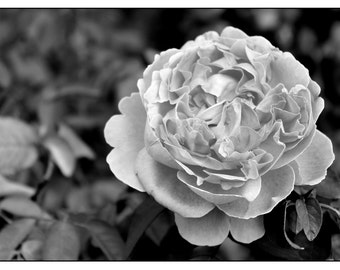 Black & White Photography - Rose - Photographic Print, Rose Photo, Flower, Roses, Rose Garden, Botanical Photography, Petals, Flowers