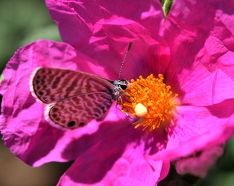 I8 - Butterfly on Pink Flower