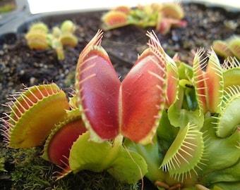 Venus Fly Trap - 10 Seeds