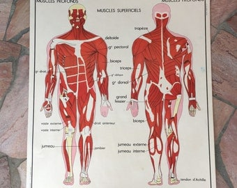 ROSSIGNOL MDI Vintage French School Poster biology Two Sides 1960s 19 muscles