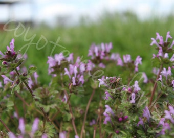 Purple Henbit Flower Patch Photograph. Digital Download / print your own wall art / for commercial or personal use / home or office decor.