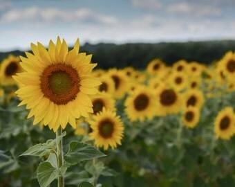 Sunflower Fields Photo