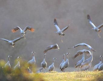 Cranes cinders 3