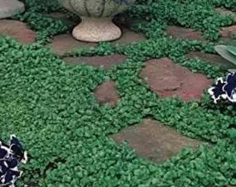 Dichondra Repens 300 Seeds