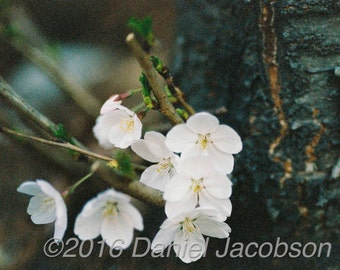 Cherry Blossoms - Photograph
