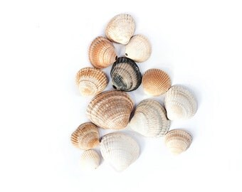 12X DRILLED CLAM SHELLS batch set of drilled seashells for crafts + home decor wind chime windchime wall hanging make your own coastal decor