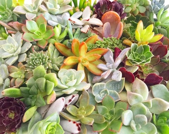 DIY Succulent cutting clipping arrangement display exotic collector wedding bouquet bride bridesmaid groom groomsman favour gift Australia