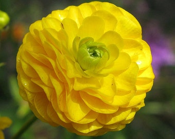 Meadow Buttercup 'Flore-pleno' Ranunculus acris