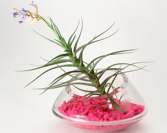Air Plant Rocking Terrarium -- Discounted