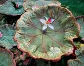"Momma luvs Spring & 20%-- Indian Rhubarb bird bath / sculpture on a pole - Leaf 5381, 9 x 9""+ strawberry and golds"