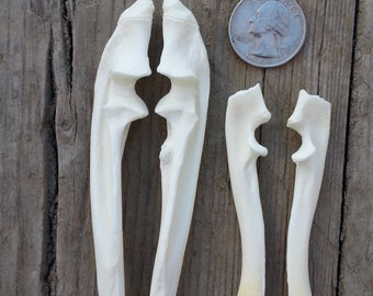 Pair of Beaver Ulnas - Real Bones - Stock No. BVRU