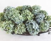 Dried Hydrangeas 14 Stems or Sections~ Green, Blue, Blue-Green,  ~ Wedding -Organic ~ Lot 18