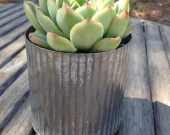 "3"" Rosette Succulent, Rustic Tin Canister Vase, Wedding Centerpiece, Thinking Of You Gift, Green Up Your Space, Housewarming Gift"