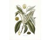 Vintage Chestnut Tree Illustration - Traditional Botanical Natural History Giclee Art Print