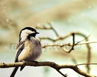 Bird Print, Chickadee, bird photo, Blue, Brown, Nature Photography, Rustic Wall Decor, Bird Wall Art, Spring Woodland
