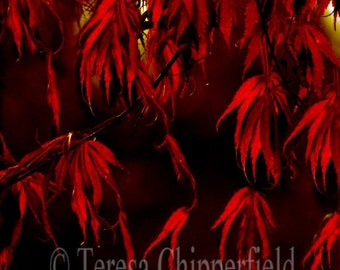 Red Fall Photography, Red Autumn Leaves Photo Print, Red Leaves on Black Wall Decor, Vibrant Red Fall Leaves Print, Large Photo Home Decor