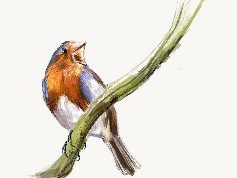 European Robin Print Bird Illustration Digital Drawing
