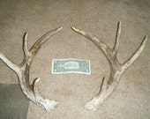 Whitetail deer antler sheds 18 and 19 inches long taxidermy rack