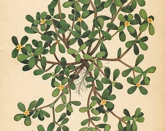 PURSLANE - Botanical Weed Illustration Book Page  24