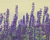 Wild Maine Lupine, Flower Photography Print, 6x9 + More Sizes, Wildflowers, Purple, Floral Home Decor, Gardens
