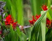 "Bird Photography-  ""Rufous Hummingbird Feeding, No. 3"" - Nature Photography, hovering, flying- unframed Print"