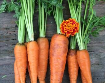 CLEARANCE Danvers 126 Organic Heirloom Carrot Seeds SALE