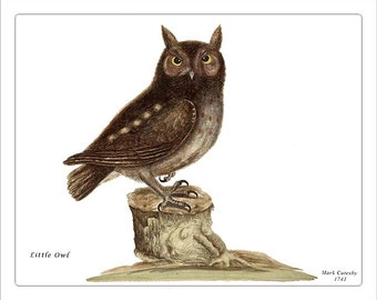 LITTLE OWL - Catesby Birds antique instant digital download reproduction