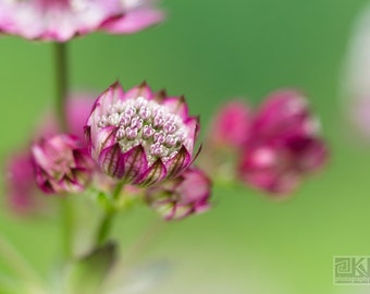 Pink Astrantia, Flower print, Whimsical floral art, Nature photography, Dreamy Astrantia, Shabby chic home, Romantic home décor