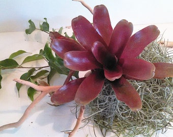 Fireball air plant - Air plant - Bromiliad - Red air plant - Outdoors and garden - Burgandy Plant - Outdoor air plant - Color plant