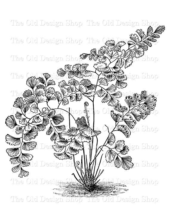 fern coloring pages - photo#29