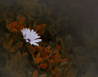 Australian seaside daisies fine art digital file